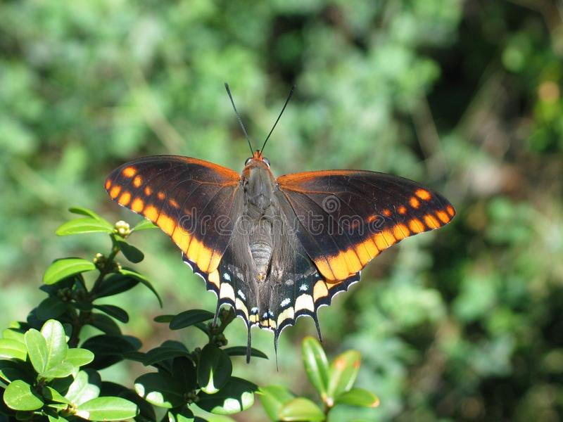 Two-tailed Pasha or Foxy Emperor. A fine example of a Two-tailed Pasha or Foxy Emperor Charaxes jasius warms itself in the sunlight. This one occurred at Saint stock photography