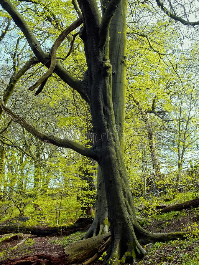 Two tall beech trees in wooland in early spring with bright green new vibrant leaves stock photos