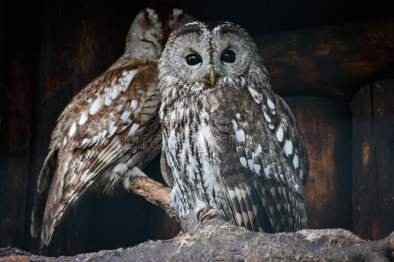 Two tawny owls perching on branch with log wall on the background stock photo