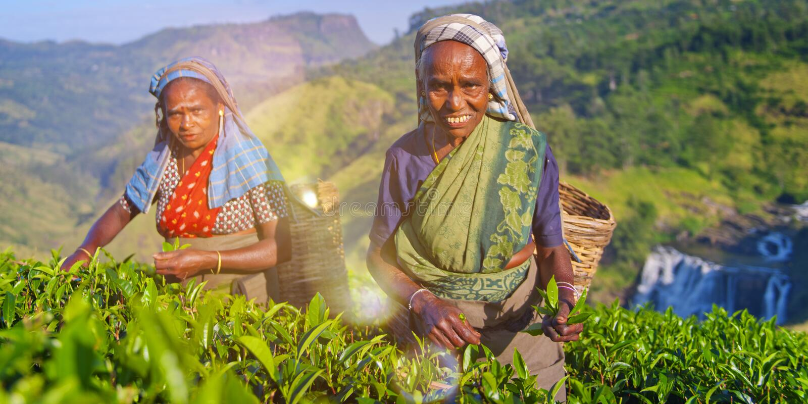 Two Tea Pickers Smile As They Pick Leaves Concept royalty free stock image