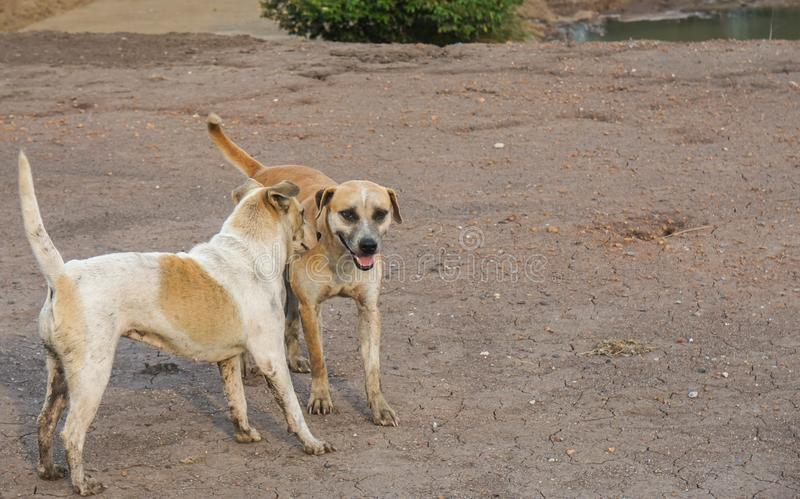 Two Thai dogs play on muddy ground. Two cute Thai dogs play on muddy ground stock image