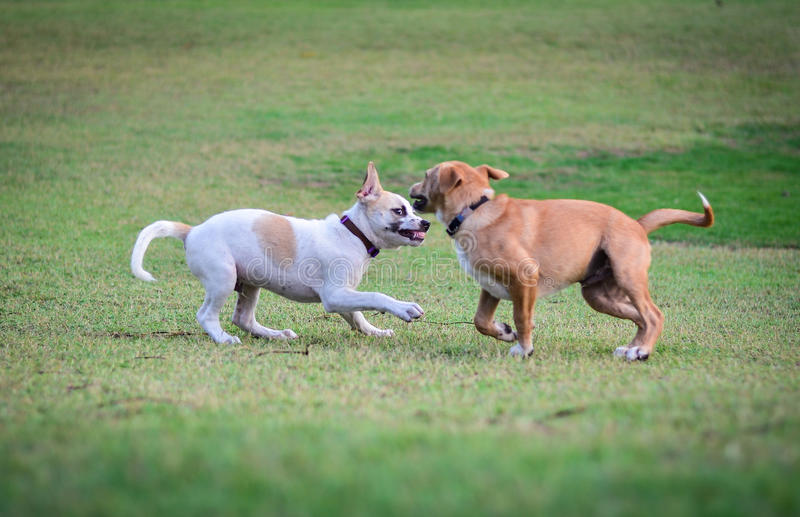 Two thai dogs playing on the beach royalty free stock photography