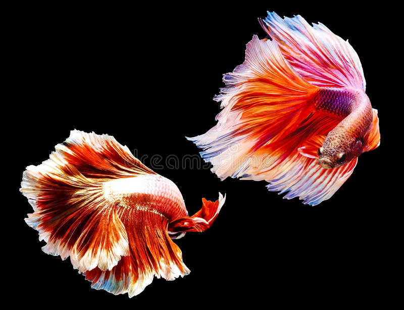 Two thai fighting fish battle royalty free stock photos