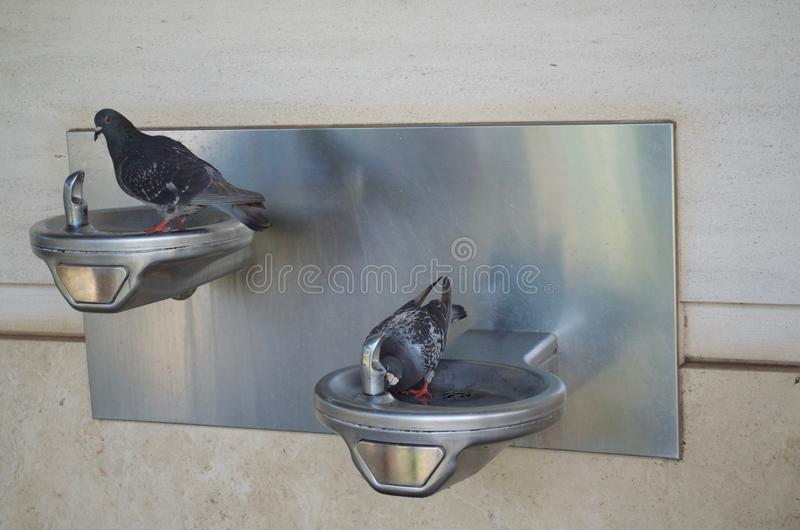 Two thirsty pigeons stock image