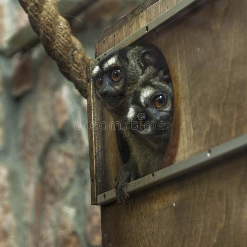 Two three-striped night monkeys, Aotus trivirgatus, peek out of a house stock photo