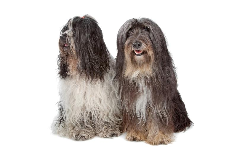 Two Tibetan Terrier dogs royalty free stock photos