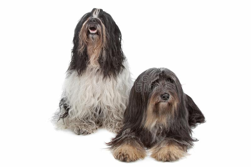 Two Tibetan Terrier dogs royalty free stock images