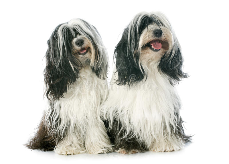 Two Tibetan terrier stock image