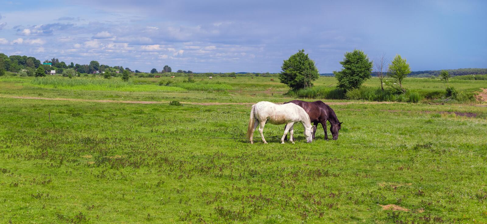 The two tied horses in the pasture royalty free stock photo