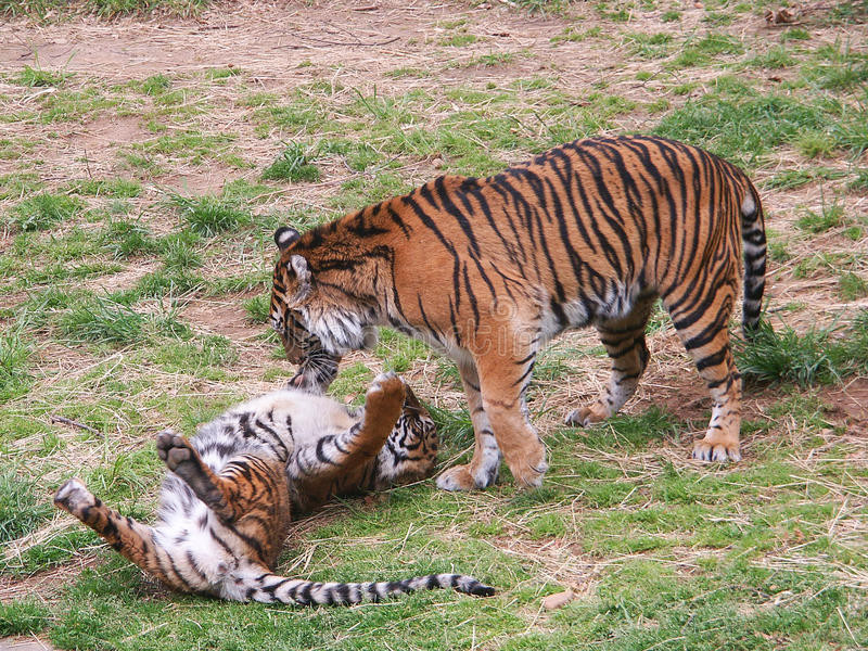 Two Tiger cubs playing royalty free stock image