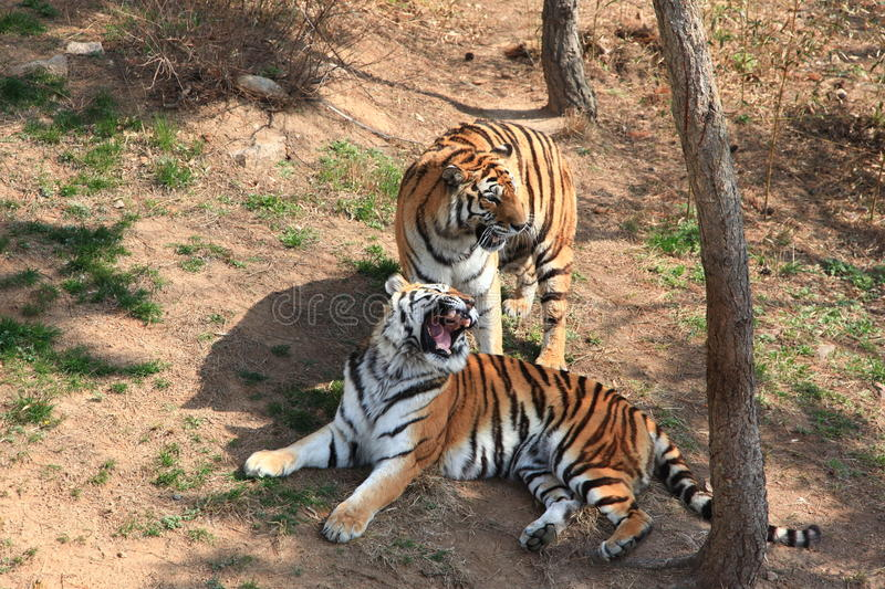 Two tigers stock photos