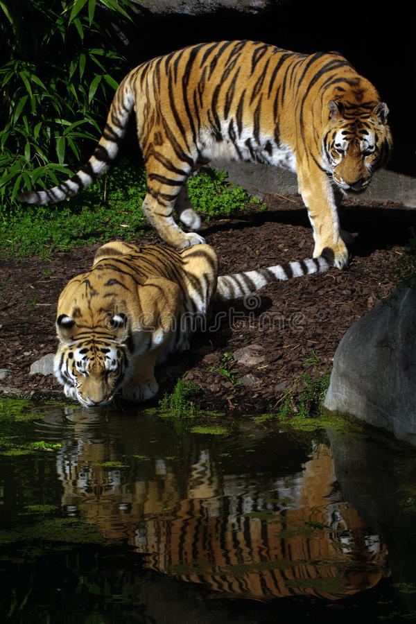 Free Two Tigers Stock Photos - 16320243
