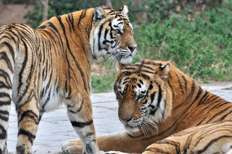 Download Two tigers stock photo. Image of feature, concept, china - 24002082