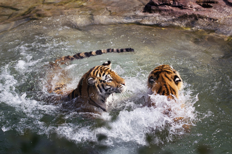 Two Tigers (Panthera tigris altaica) Play in Water. Two female Siberian (Amur) Tigers (Panthera tigris altaica) splash about in pool of water - captive animals stock photos