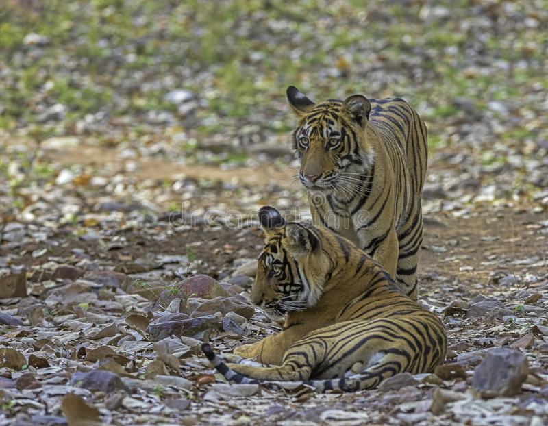 Two tigers, Panthera tigris at Ranthambhore in Rajasthan, India. Two tigers, Panthera tigris at Ranthambhore in Rajasthan, India royalty free stock photo