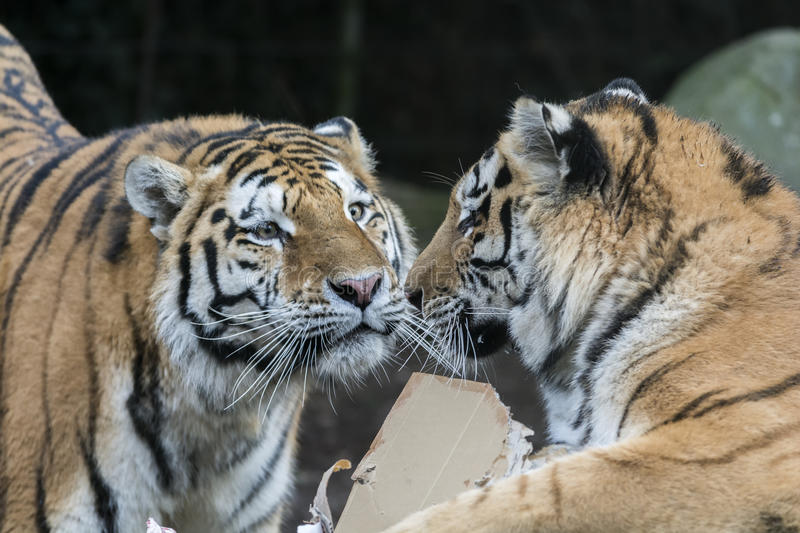 Two tigers playing royalty free stock photography