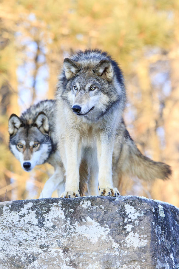 Two timber wolves on ridge. In wintertime stock photo