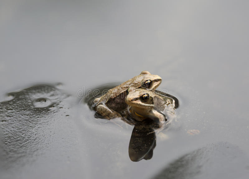 Two tiny toads stock photography