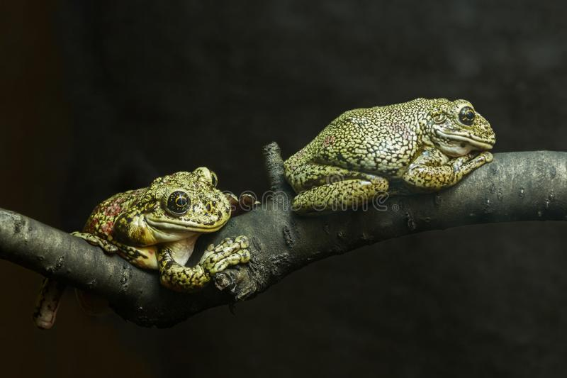 Two toads are sitting on a tree branch. On a dark background stock photo