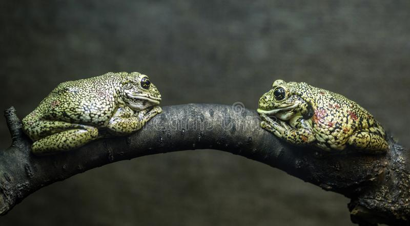 Two toads are sitting on a tree branch face to face royalty free stock images