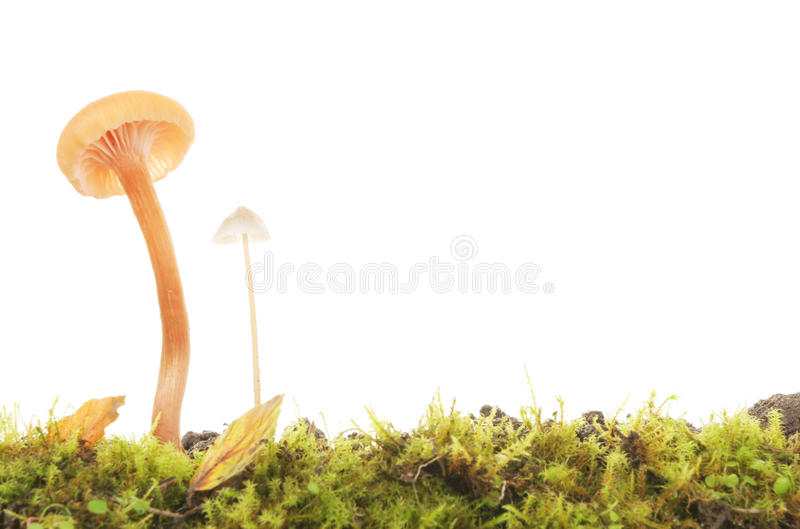 Two toadstools stock images