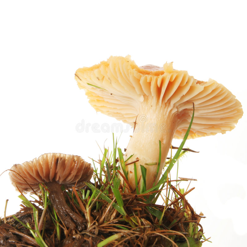 Download Two toadstools stock photo. Image of clump, gill, toadstool - 6952216