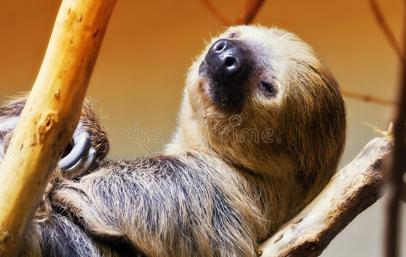 Two toed sloth royalty free stock photography