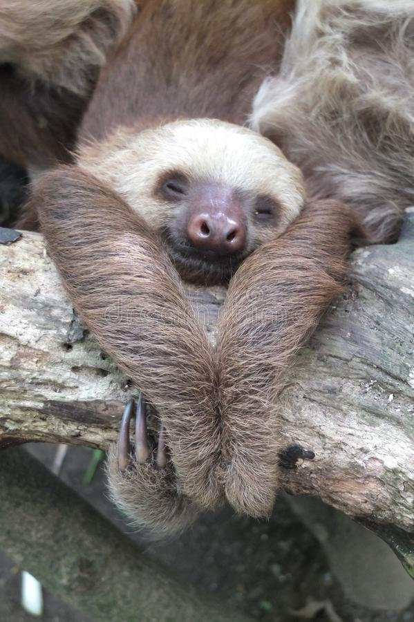 Two toed sloth in Costa Rica asleep. Two toed sloth in Costa Rica, asleep hanging on a branch stock photo