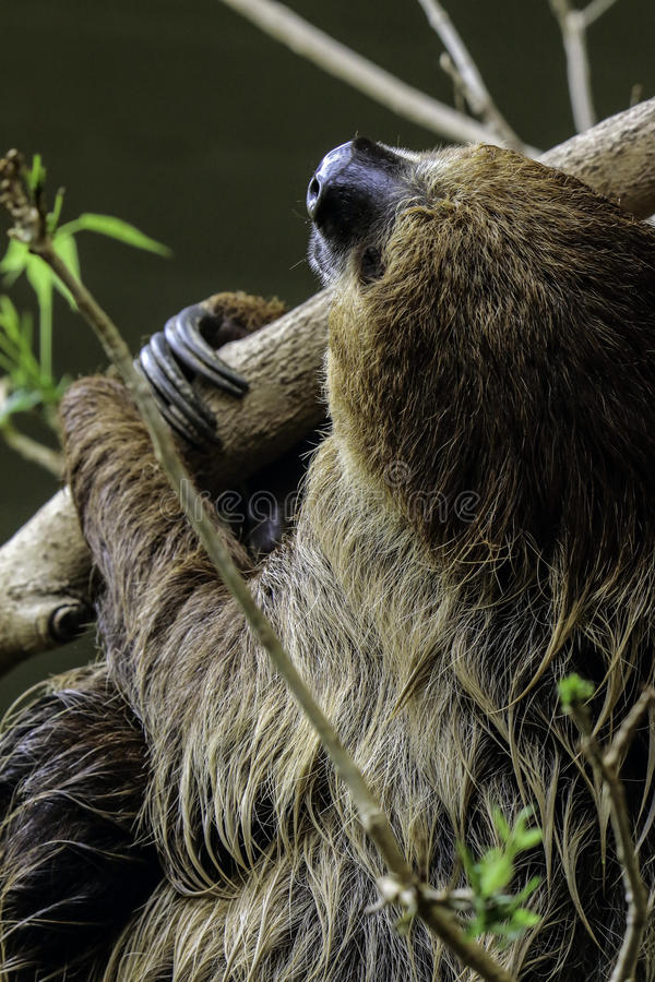 Sloth. Two Toed Sloth Hanging On Tree Branch Against Dark Background royalty free stock image