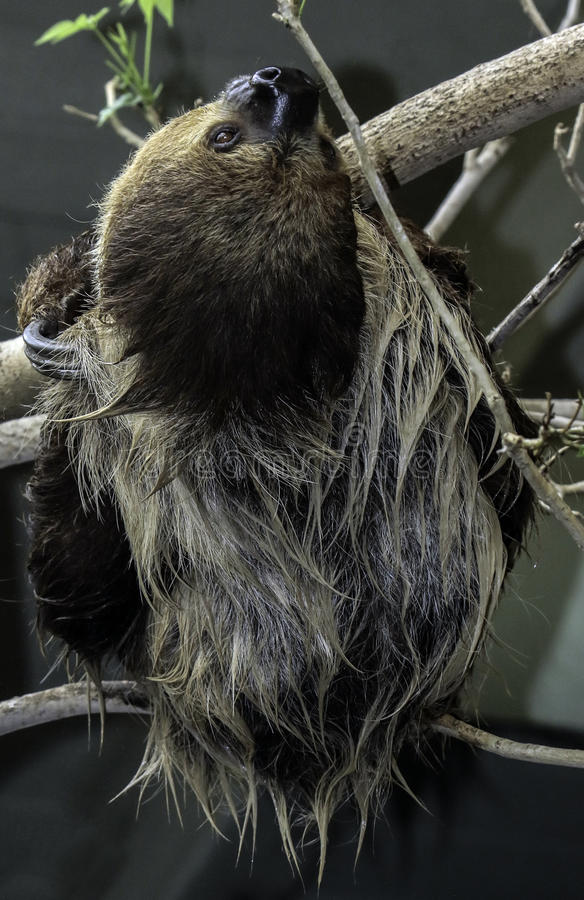 Sloth. Two Toed Sloth Hanging On Tree Branch Against Dark Background stock photos