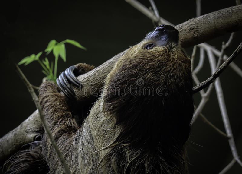 Sloth. Two Toed Sloth Hanging On Tree Branch Against Dark Background stock photo