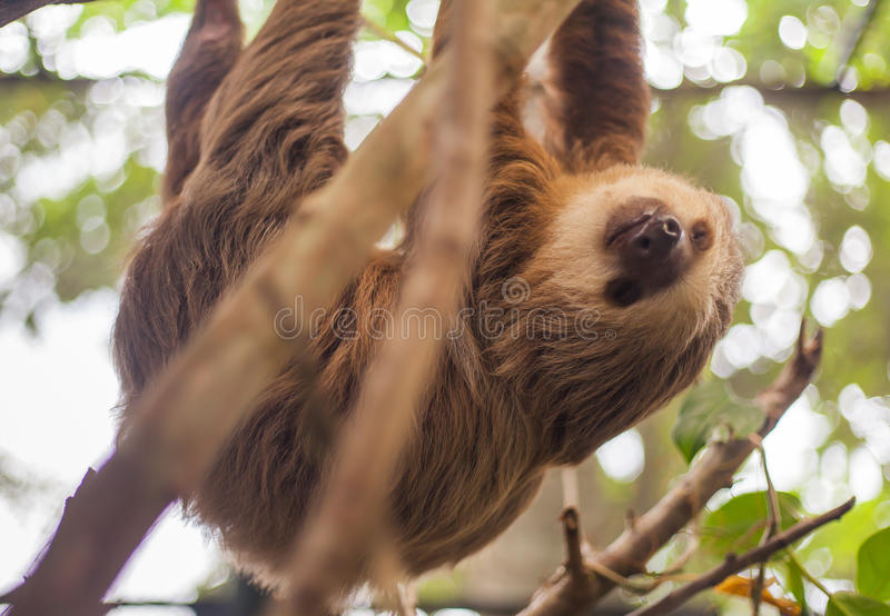 Two-toed sloth hanging from a tree stock image