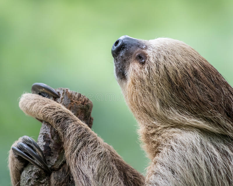Two-Toed Sloth stock images