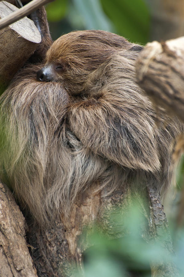 Two - toed Sloth stock photography