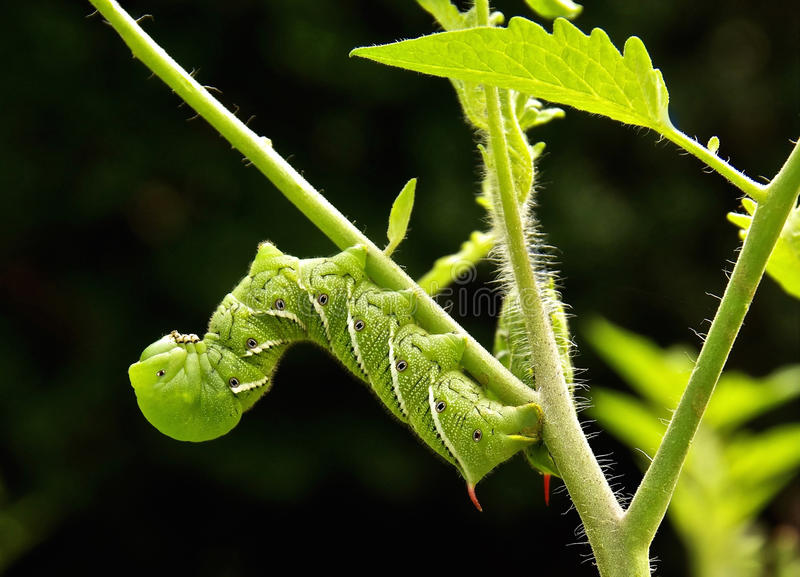 Two Tomato/tobacco Hornworms. Cling to a tomato plant...devouring leaves while they hang upside down on the stems stock image