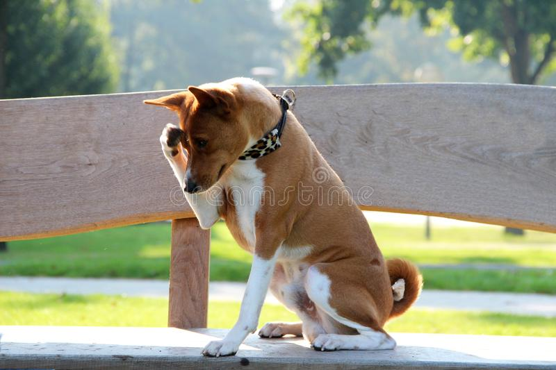 A two-tone basenji dog sitting on a wooden bank making jokes. In meppen emsland germany photographed in crosswise royalty free stock image
