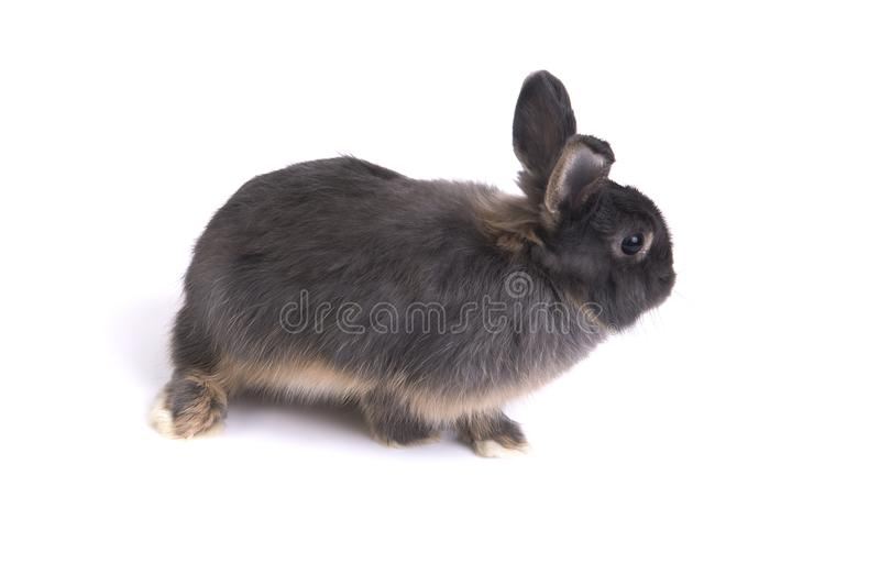 Two tone color netherland dwarf rabbit. royalty free stock images