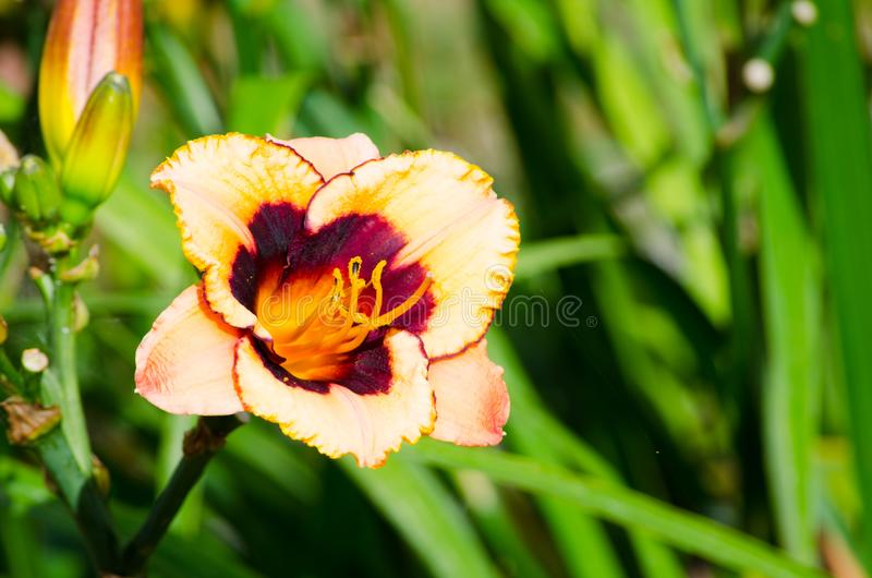 Two tone colors in Orange Dark brown Daylily flower in a spring season at a botanical garden. royalty free stock images