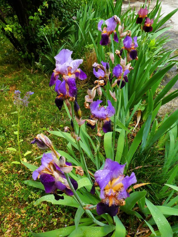 Two tone flower garden iris purple and blue after the rain royalty free stock photography