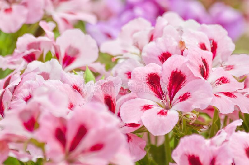 Two-tone pink Geranium flowers. Two-tone pink beautiful Geranium flowers stock photo