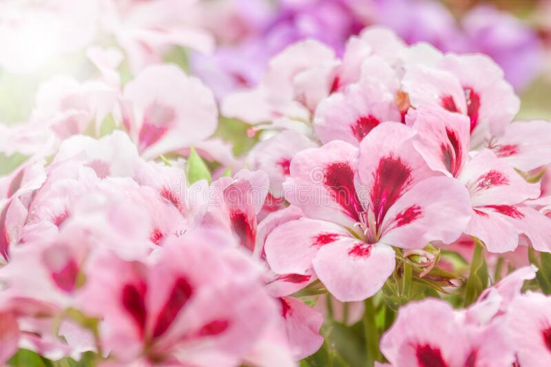 Two-tone pink Geranium flowers. With sunlight spot stock photos