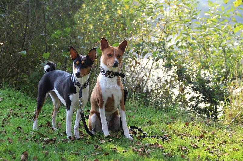 A two-tone and a tri color basenji dog sitting and standing on a grass area looking directly in the camera royalty free stock images