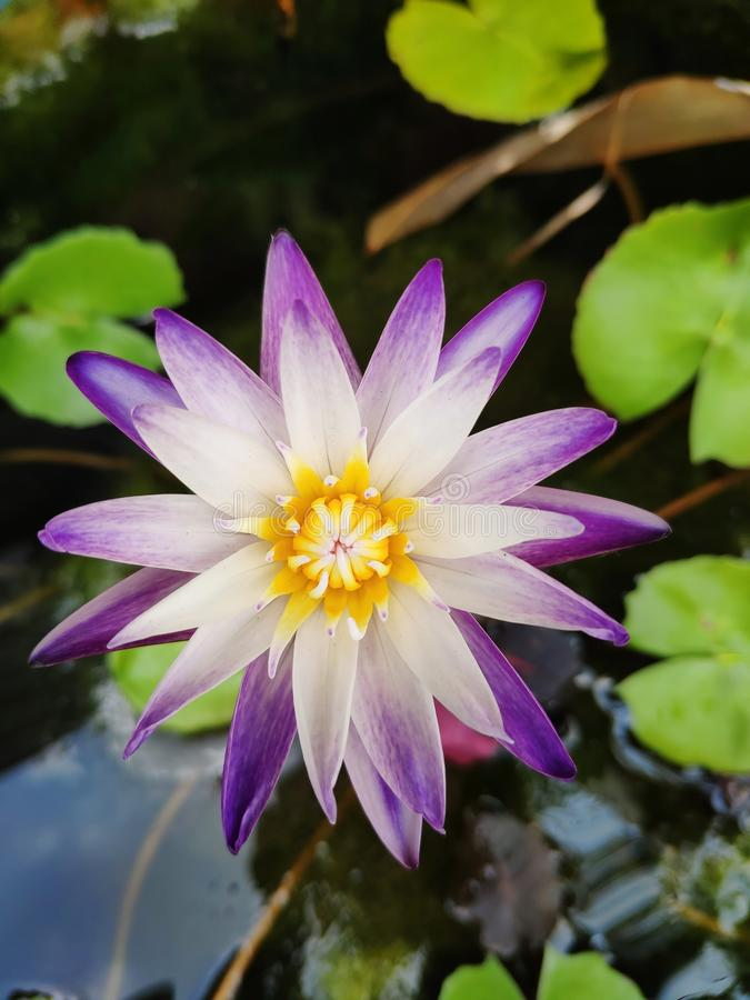 Two tone water lily. Violet purple lotus white pollen yellow stock images