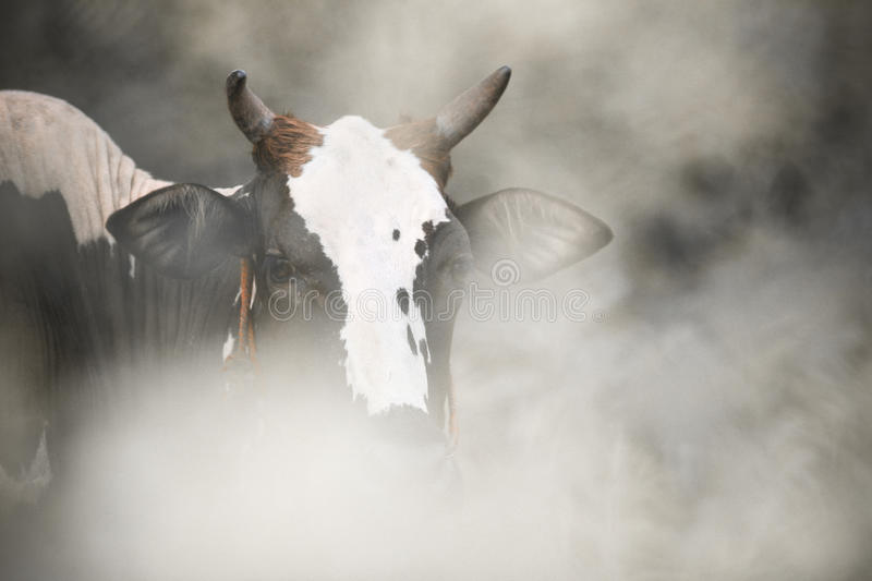 Two-toned cow stock photos