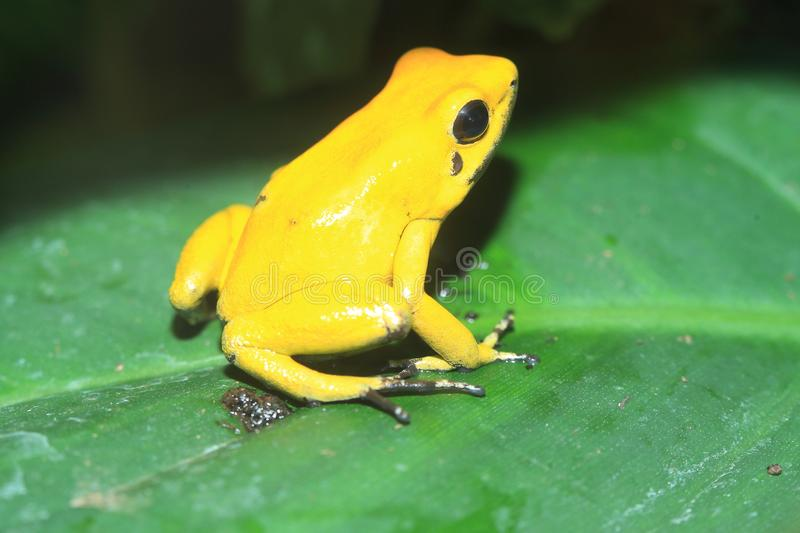 Two-toned poison frog royalty free stock photography
