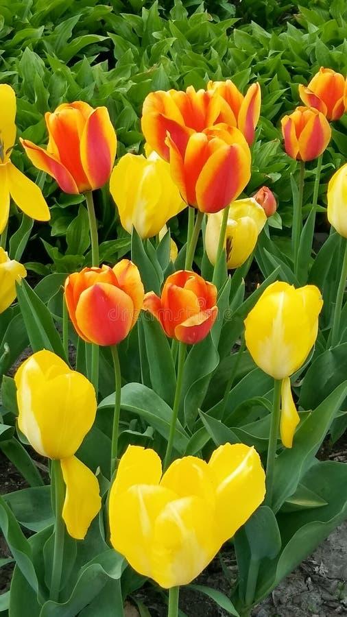 Two Tones of Tulips Take Two royalty free stock photos