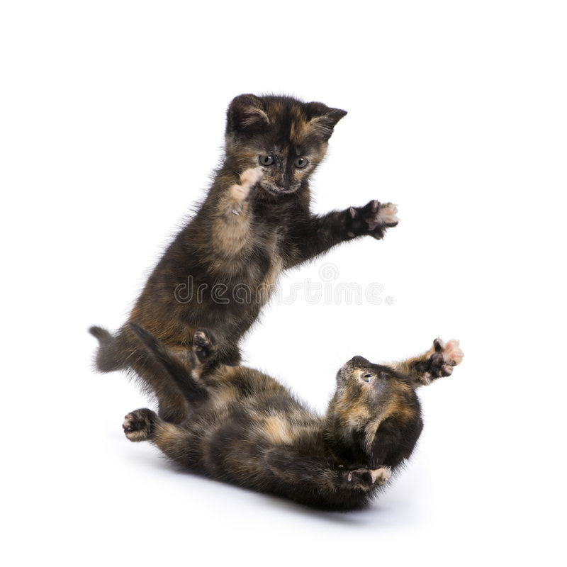 Two Tortoiseshell kitten (2 months). Two Tortoiseshell cat (2 months) in front of a white background stock photos