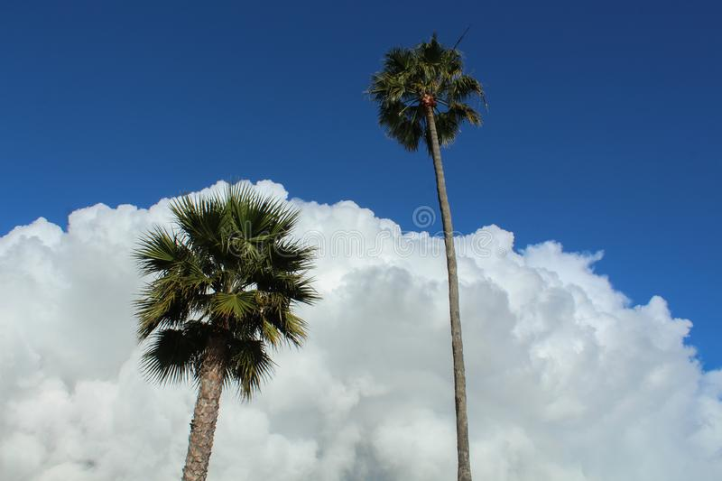 Two Towering Palm Trees Against a Fluffy Rain Cloud on the Palos Verdes Peninsula, Los Angeles County, California. Two stately palm trees in front of a massive royalty free stock images