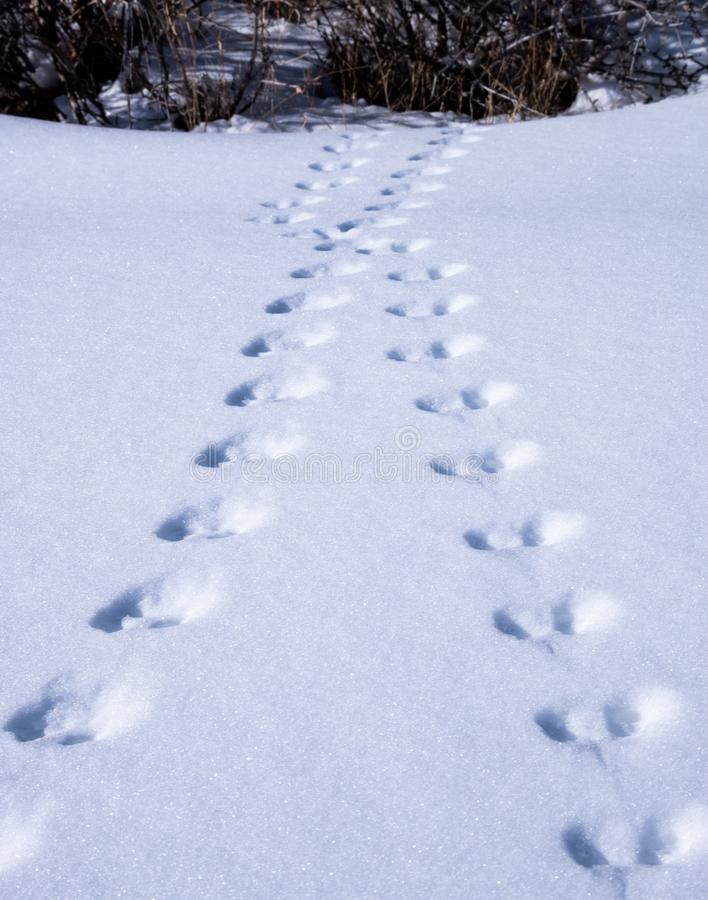 Animal footprints in the snow royalty free stock photography