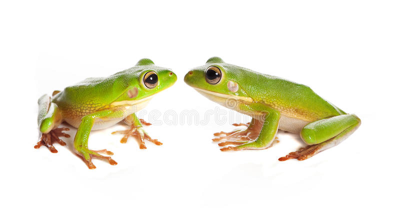 Two tree frogs